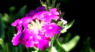 Purple Flower Stock Footage