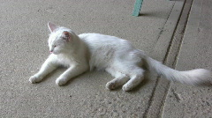 White Cat Laying on Pavement Stock Footage
