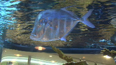 Silver Flat Fish Stock Footage