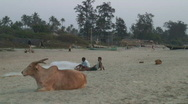 Stock Video Footage of India beach cow