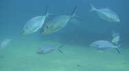 School of Fish Stock Footage