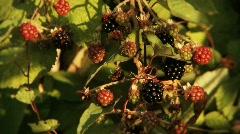 Wild Blackberries - stock footage