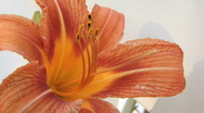 Tiger Lilly Flower 2 Stock Footage