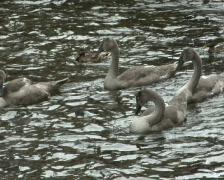 Young swans Stock Footage