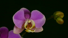 Time-lapse of opening purple orchid 1 Stock Footage