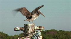 Pelican pier Stock Footage