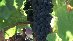 Grapes in the south of France Stock Footage