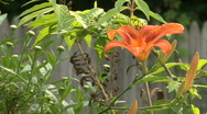 Tiger Lilly Flower 3 Stock Footage