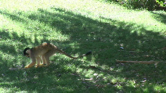 Beautiful Squirrel Monkey Stock Footage