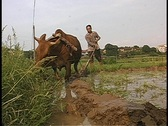 Stock Video Footage of Farmer with cow in China in a rice paddy