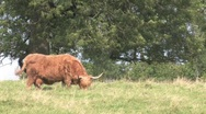 Highland Cows In Field Stock Footage