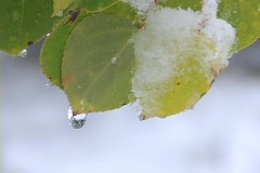 Aspen leaf melting snow Stock Footage