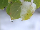 Stock Video Footage of Aspen leaf melting snow