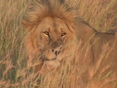 Lion Resting in Kenya Africa Stock Footage