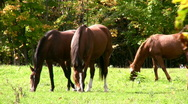 Riding Stable Horses Grazing In A Field During Summer Stock Footage