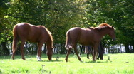 Riding Horses Eating Grass In An Outdoor Paddock Summertime Stock Footage