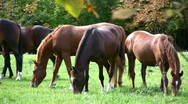 Riding Horses Feeding On Grass Outdoors In A Meadow Stock Footage