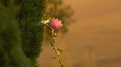 flower01 - stock footage