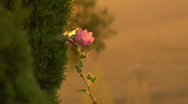 Flower01 Stock Footage