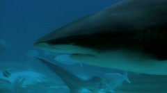 Bull Whaler Sharks Swim with Various Fish - stock footage