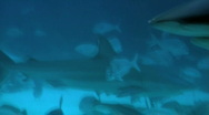 Stock Video Footage of Bull Whaler Sharks Swim with Various Fish