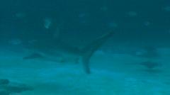 Various Sharks - Whaler, Bull Sharks Underwater Stock Footage