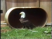 Bald Eagle in rehab Stock Footage