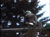 Stock Video Footage of Bald Eagle rehab 2