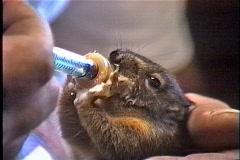Chipmunk feeding Stock Footage