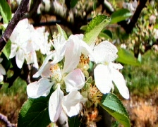 Bee pollinates apple blossoms Stock Footage