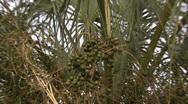 Palm Tree Berries 1 Stock Footage