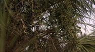 Palm Tree Berries 3 Stock Footage