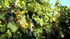 Grapes on vine Stock Footage