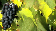 Bunch of red grapes Stock Footage
