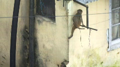 Monkey on Indian roof tops (w/sound) Stock Footage