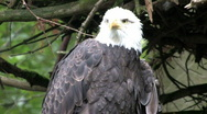 Bald Eagle 11008 Stock Footage
