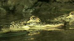 Alligator close in water M HD Stock Footage