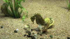 Seahorses mating M HD - stock footage