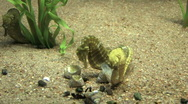 Stock Video Footage of Seahorses mating M HD