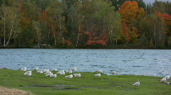 Ring billed gull roosting Stock Footage