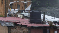 Monkeys on roof tops (w/sound) Stock Footage