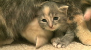 Stock Video Footage of Kittens and Cats (2 of 27)