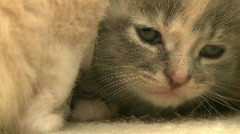 Kittens and Cats (18 of 27) Stock Footage