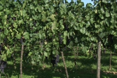 Vineyard field in Southern Germany. Vehicle (Dolly) slow shot. Stock Footage