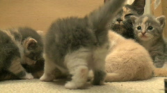 Kittens and Cats (4 of 27) Stock Footage