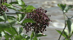 Elderberries ripen in sun, river background Stock Footage