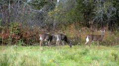 Maine deer - stock footage