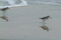 Plover Stock Footage