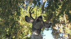 Deer hanging in tree M HD Stock Footage