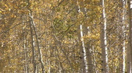 Golden Aspen trees to trail M HD Stock Footage